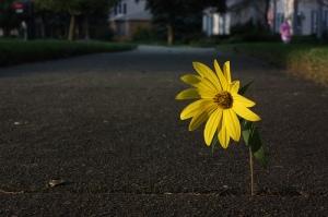 flower in sidewalk crack